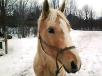 AQHA Registered Palomino mare