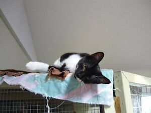 Adorable Ash~Young Black n White Kitty for Adoption thru KLAWS Kawartha Lakes Peterborough Area image 2