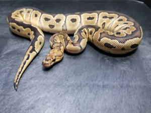 Clown Ball Python - Male