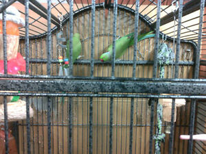 Indian Ringneck Breeding Pair