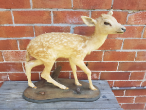 Taxidermy deer very well done