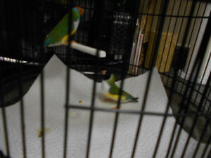 NICE PAIR OF GREEN BACK NOT RELATED GOULDIAN FINCH  .