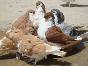 Looking for Lahore Pigeons (Pair)