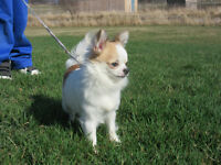 Two Gorgeous Purebred CKC long coat chihuahuas males