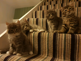 Maine Coon mix kittens available now. All now SOLD