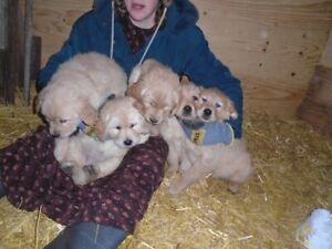 Purebred Golden Retriever puppies that have had a lot of petting