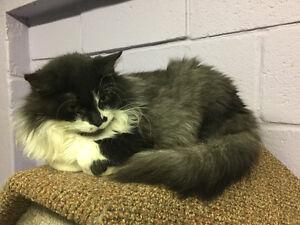 "Female black/white/grey cat ""KENZIE"""