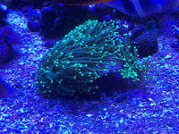 Saltwater corals and frags available..