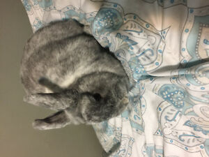 Pet bunny for sale