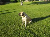 English Mastiff Puppies - CKC Registered