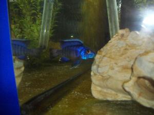 "Aulonocara ""Ngara Flametail"" Breeding Group/ cichlids / aquarium"