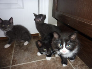 4 KITTENS FOR SALE - 2 MONTHS OLD - $125 EACH