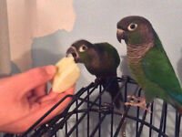 Tame, friendly, proven breeders of green cheek conures