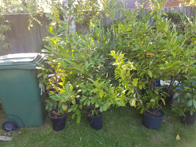 Laurel Bushes | in Westbury, Wiltshire | Gumtree