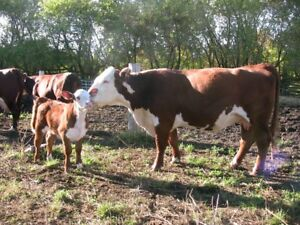 Pure bred Herefords