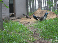 4  yearling Peafowl for sale