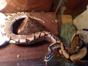 Male spider ball python with tank $100 obo