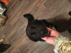 LOST BORDER COLLIE LAB MIX BLACK