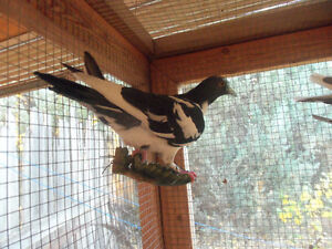 3 Pigeons for Sale