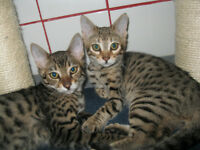 Chatons Bengal Brown spotted