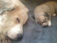 Great Pyranees puppies that have come to us beautiful colours