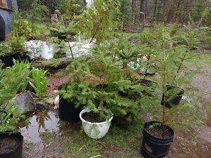 CHEAP YOUNG LANDSCAPING TREES -CEDAR,SPRUCE,PINE,BIRCH