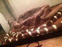 California King Snake & terrarium for sale.