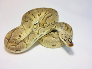 Beauty ball Pythons! Males, Females, Breeders.