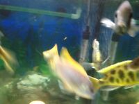 Acei Yellow Fin Malawi Cichlid Pair