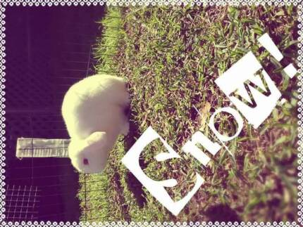 PURE BRED SHOW QUALITY LOVING MINI LOP BOY    REGRETFUL SALE.. Cundletown Greater Taree Area Preview