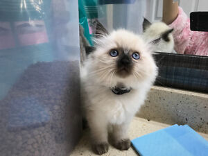 Plush Ragdoll Kitten looking for new home-PRICE REDUCED
