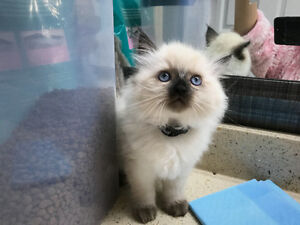 Reg'd-Plush Ragdoll Kitten looking for new home-PRICE REDUCED