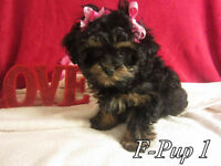 POODLE x PUPS 5 FEMALE, 1 TINY MALE,toys and tiny toys,,,