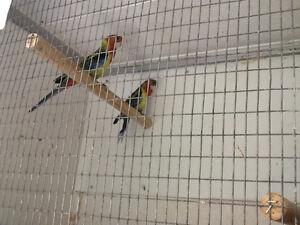 Eastern Rosella/Barraband and Splendid Grass Parakeets