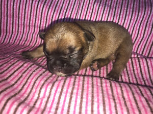5 stunning French bulldog puppies
