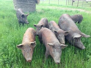 Tamworth Breeding Pigs and Weanlings