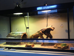 11 months old bearded dragon with complete setup