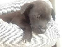 Patterdale x Jack Russell puppy
