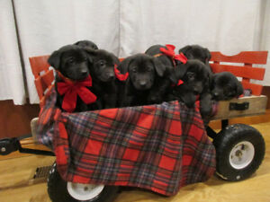 Black Lab Cross Puppies For Sale