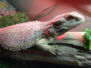 Female bearded dragon to a new home