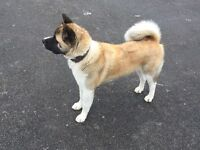 AMERICAN AKITA FOR SALE (BEAUTY)
