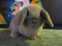 Young Holland Lop Bucks for Sale