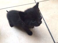 standard shorthair kittens ready now, insured, up to date with flea and worming treatments