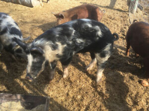 Boars for sale
