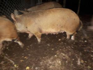 Duroc/ Yorkshire sow