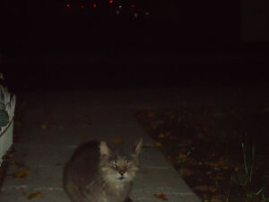 Grey Cat 2 Male Found Windsor Region Ontario image 3