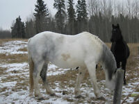 Percheron Cross Broodmares