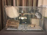 Adorable 2 Male Chinchillas with Cage and Accessories