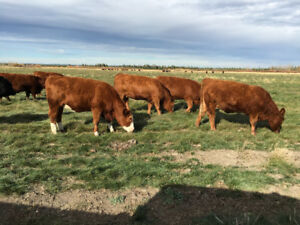 Cleardale Colony Bred Heifers