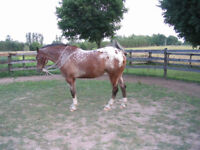 Learn  How   To   Become  An   Equine  Appraiser.